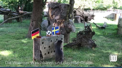 Wormser Waschbären tippen die WM-Partie Deutschland-Schweden